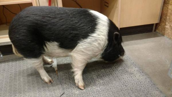 Pet Pig's Fence Blows Down So He Trots Over To Home Depot