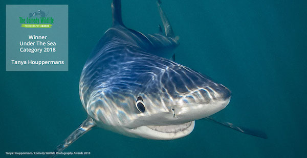 Under the Sea Category: Smiling Blue Shark by Tanya Houppermans