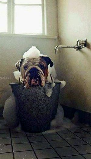 Bubble Bath Bulldog