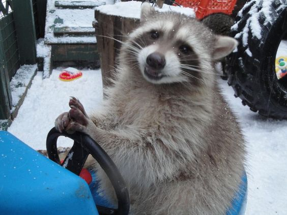 Driving Raccoon