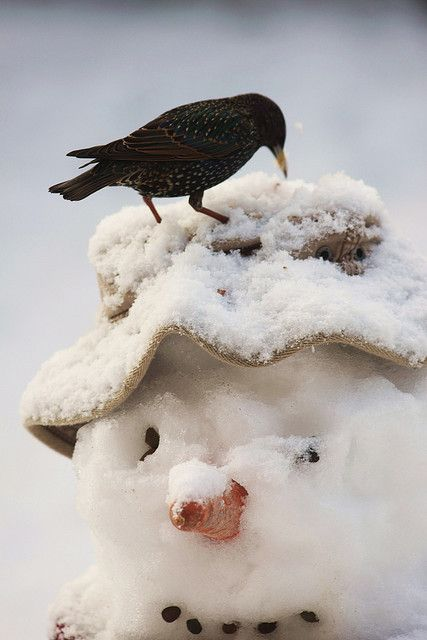 Starling and Snowman