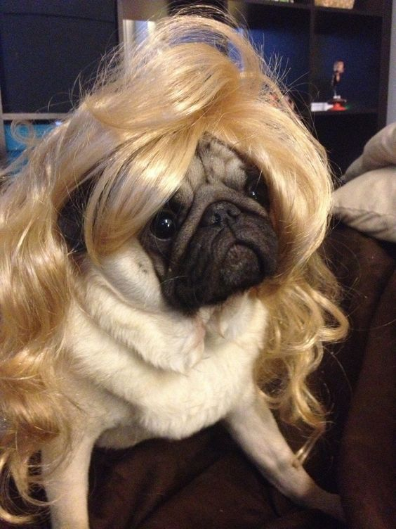 Wigged-Out Pug