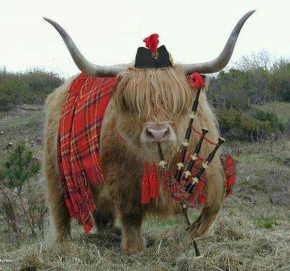 Highland Cow with Bagpipes and Kilt