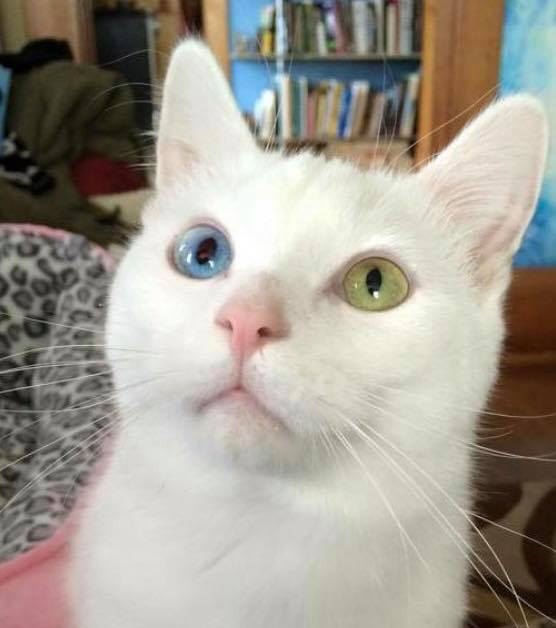 Heterochromic Cat