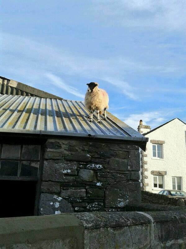 Sheep on a Roof