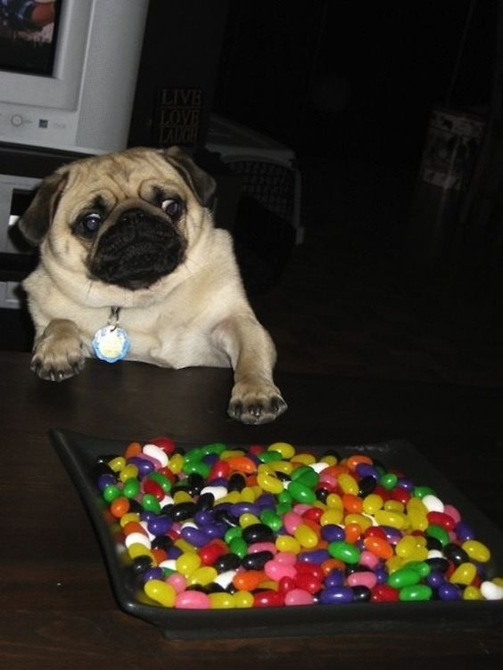Jelly Bean Pug