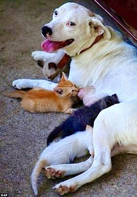 Dog Nursing Kittens