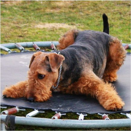 Bouncy Airedale