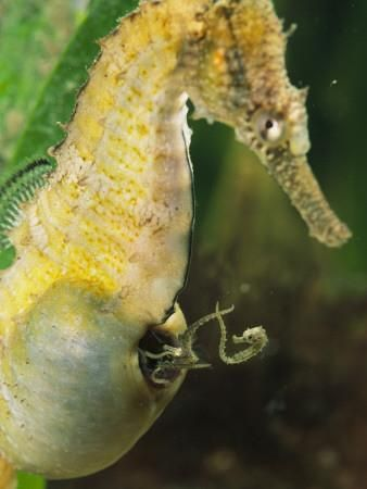 Seahorse Father Giving Birth