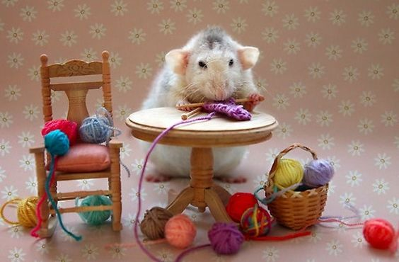 Knitting Rat