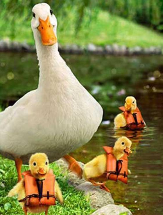 Over-Protective Mama Duck