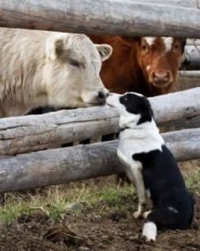 Cow and Dog Friends