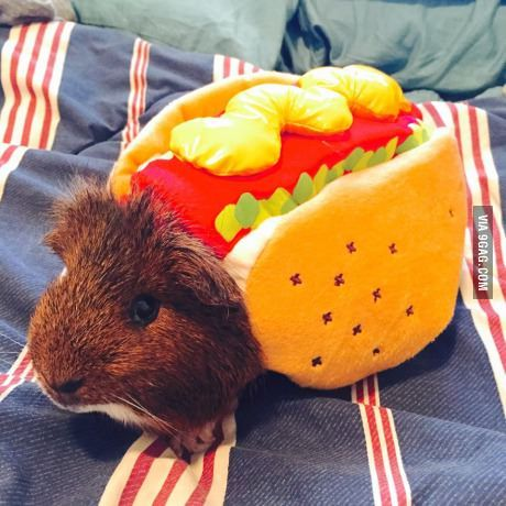 Guinea Pig Hot Dog