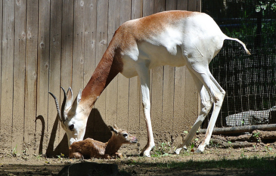 Dama gazelle, Adara, gives birth at the Smithsonian National Zoo: photo by Jen Zoon, Smithsonian National Zoo