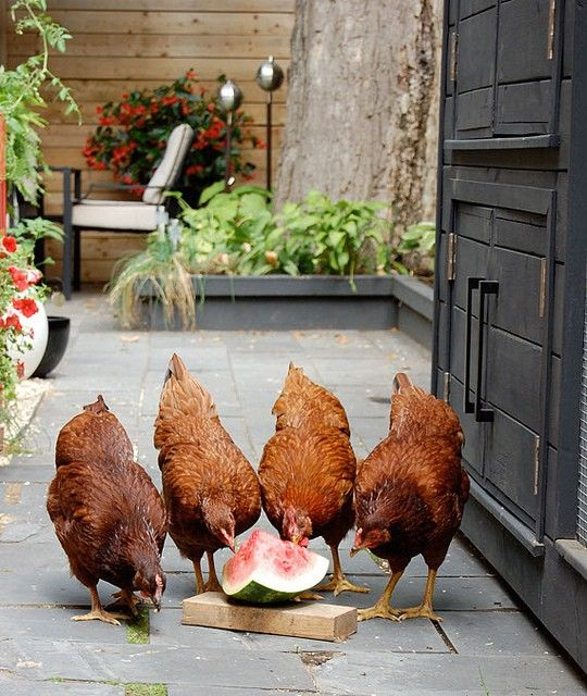 Watermelon Chickens