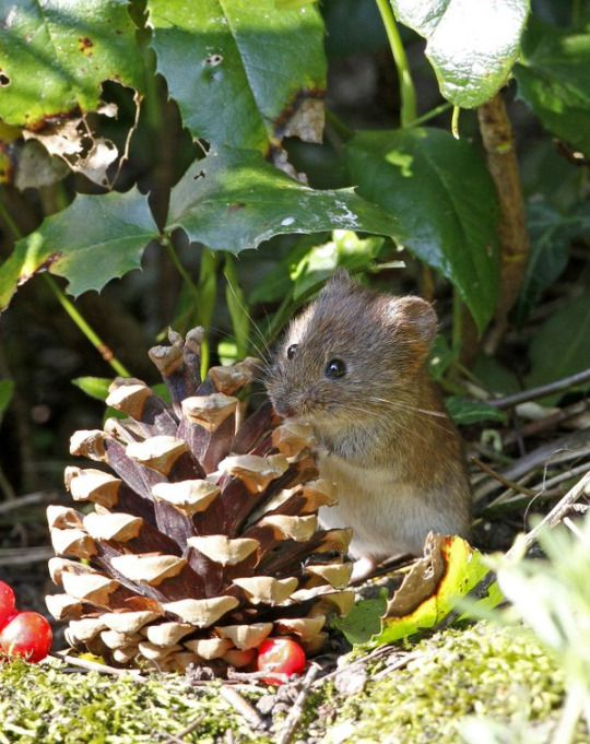 Foraging Mouse