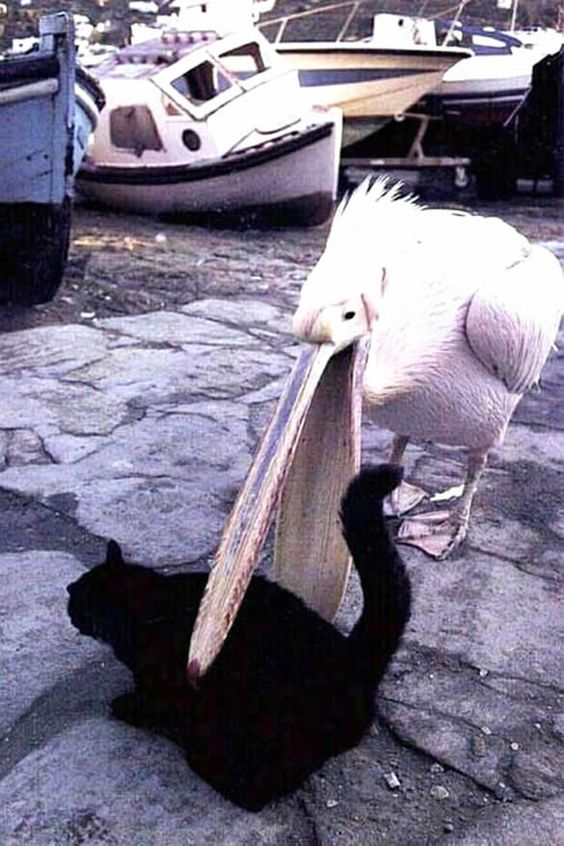 Pelican and Cat