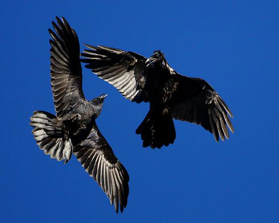 Courting ravens