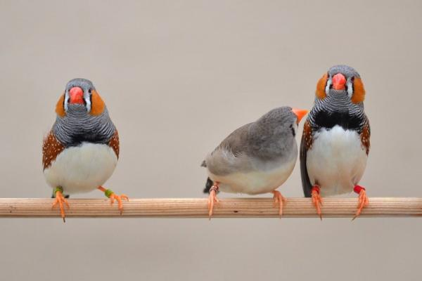 Female zebra finch regards brightly-banded male