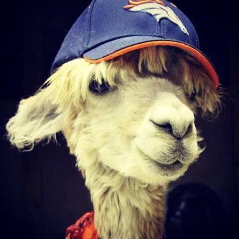 Cody the Alpaca