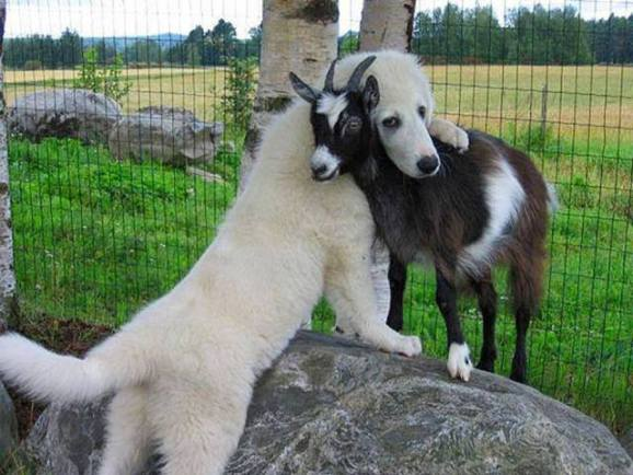 Dog and Goat BFFs (Photo via 1,000,000 Pictures)