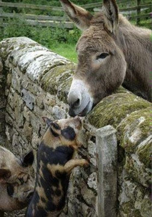 Donkey and Pigs
