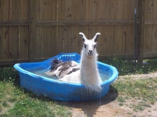 Hot Llama (Image via BuzzFeed)