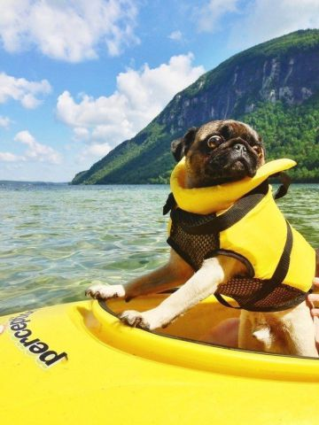 Adventure Pug (Image via 22 Words)