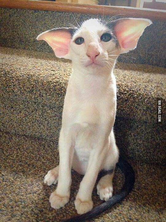Bat-Eared Cat