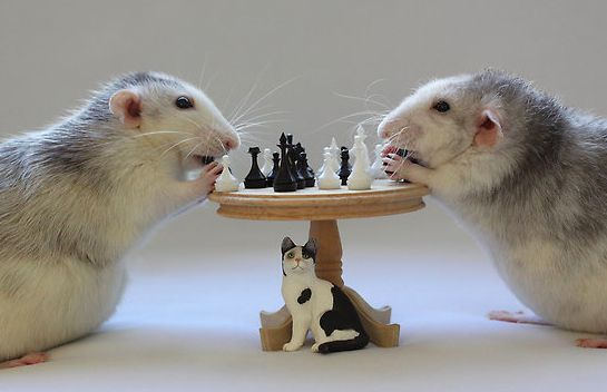 Rats Playing Chess