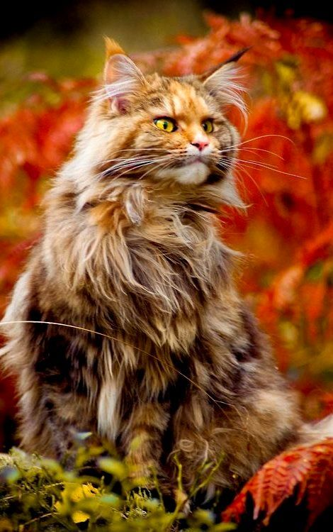 Norwegian Forest Cat in Autumn