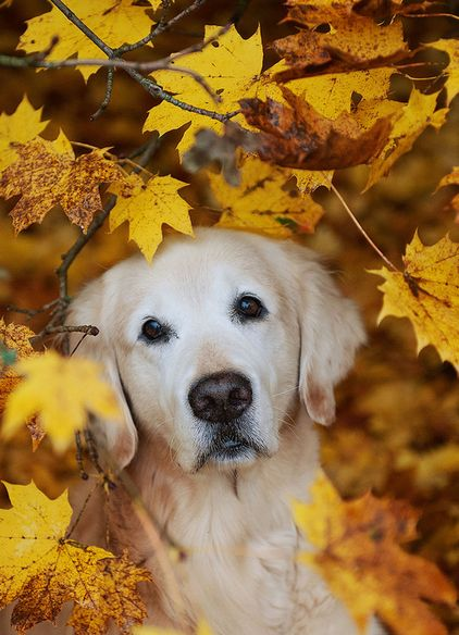 Golden Autumn Retriever
