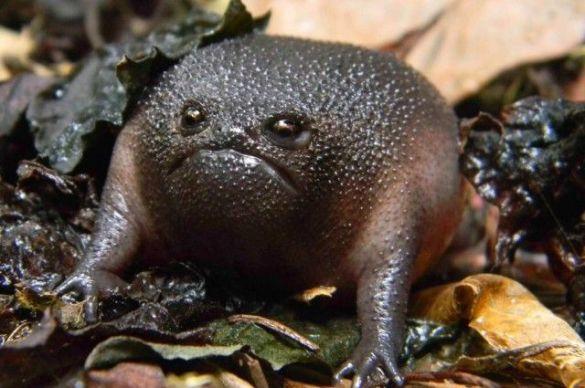 Grumpy Black Rain Frog (Image via IFLScience)