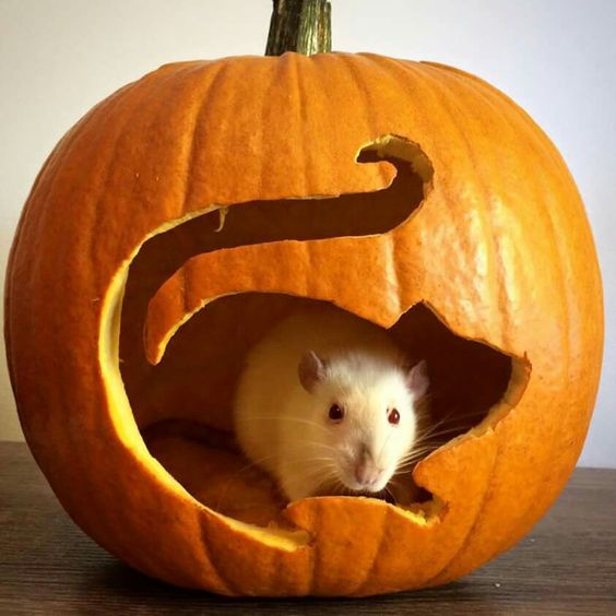 Pumpkin Rat