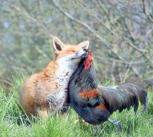 Fox and Hen Romance (Image via BiologiaTotal)