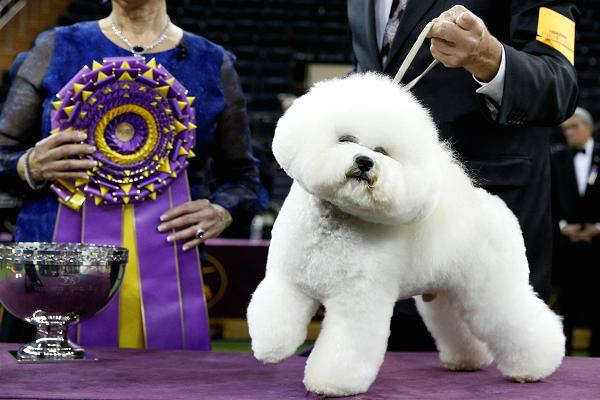 From Goya To Westminster, The Bichon Frise Has Come A Long Way Baby!
