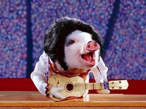 Pig Elvis Impersonator