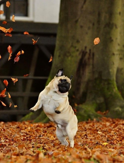 Autumn Celebration Pug