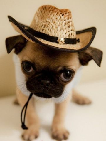 Cowboy Pug (Image via Pretty Fluffy)