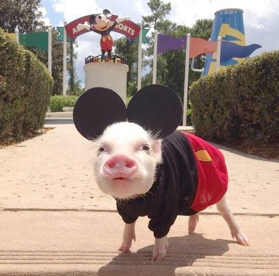 Mickey Mouse Pig