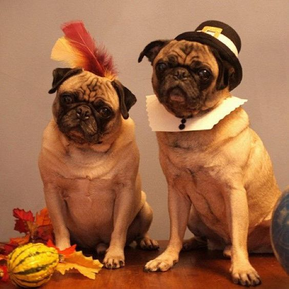 Thanksgiving Pugs