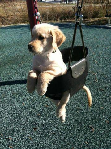 Swinging Lab Puppy (Image via Buzzfeed)