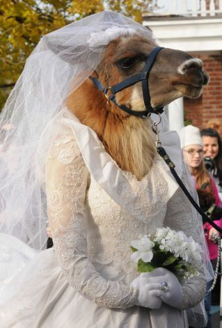 Bridal Llama