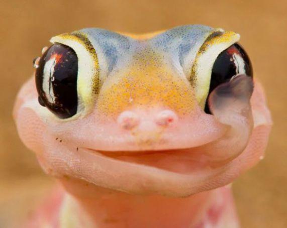 Gecko (Photo by Isak Pretorius, Image via The Telegraph)