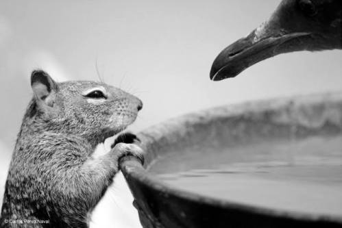 To Drink Or Not: photo by Carlos Perez Naval/ Wildlife Photographer of the Year 2015