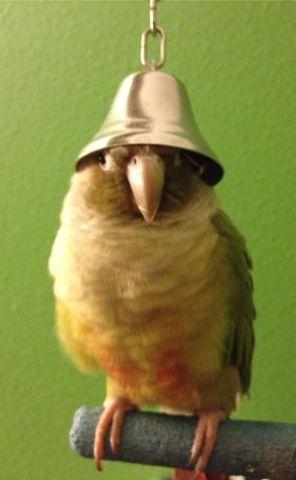 Belled Bird (Image via WindyCityParrot.com)