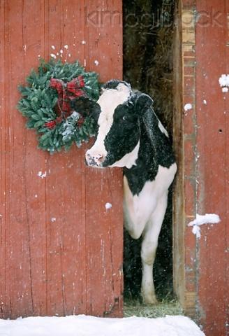 Cool Christmas Cow (Image via Kimballstock)