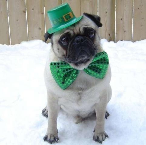 Irish Pug (Image via Her Campus)