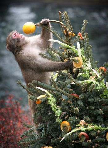 Monkey Christmas Tree