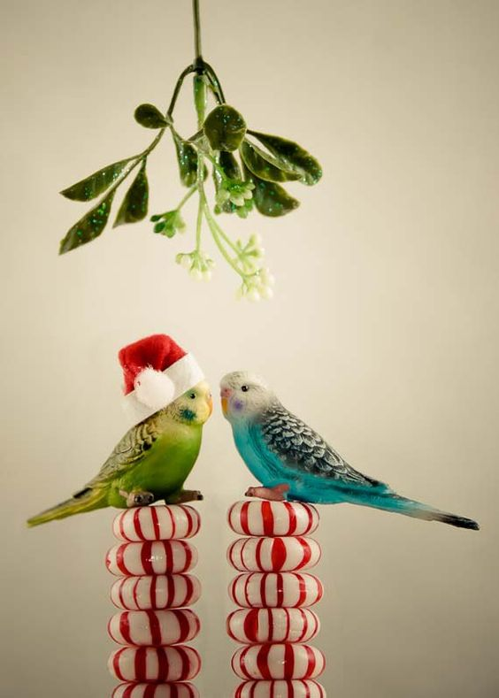 Mistletoe Budgies